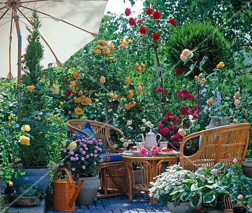 rosenterrasse rosa rosen staemmchen edelrosen beetrosen bild kaufen living4media. Black Bedroom Furniture Sets. Home Design Ideas