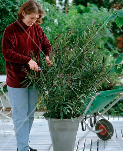 oleander im fr hjahr zur ckschneiden bild kaufen living4media. Black Bedroom Furniture Sets. Home Design Ideas