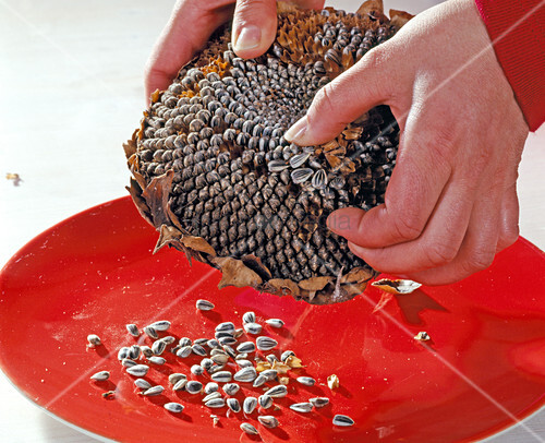 how to harvest sunflower seeds to eat