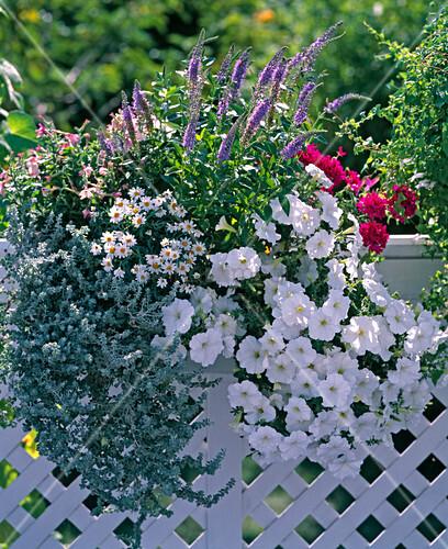 veronica spicata helichrysum petiolare silver mini petunia bild kaufen living4media. Black Bedroom Furniture Sets. Home Design Ideas