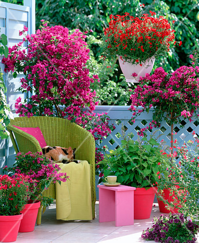 bougainvillea verbena bushy crimson vervain bild. Black Bedroom Furniture Sets. Home Design Ideas
