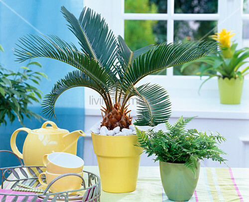 cycas revoluta sagopalmfarn in gelbem bertopf auf dem tisch bild kaufen living4media. Black Bedroom Furniture Sets. Home Design Ideas