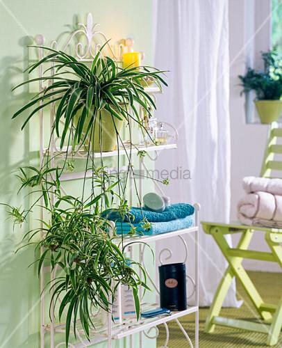 pflanze im bad chlorophytum laxum gr nlilie bild kaufen living4media. Black Bedroom Furniture Sets. Home Design Ideas