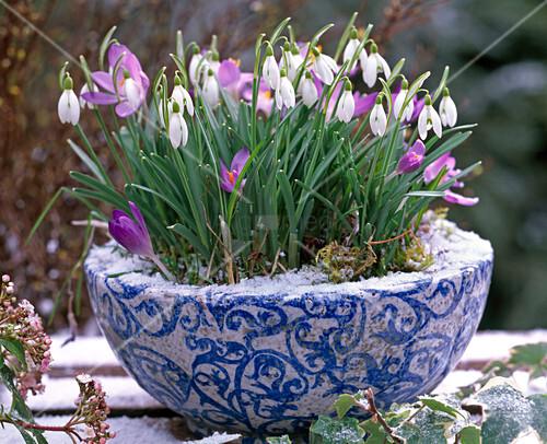 galanthus schneegl ckchen crocus tommasinianus. Black Bedroom Furniture Sets. Home Design Ideas