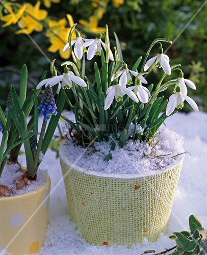 galanthus schneegl ckchen im schnee bild kaufen living4media. Black Bedroom Furniture Sets. Home Design Ideas