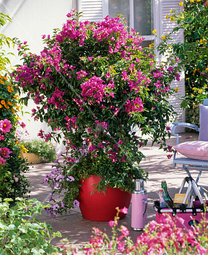 bougainvillea underplanted with petunia petunia hedera. Black Bedroom Furniture Sets. Home Design Ideas