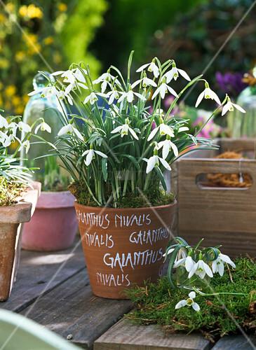 galanthus nivalis schneegl ckchen in topf mit aufschrift galanthus nivalis bild kaufen. Black Bedroom Furniture Sets. Home Design Ideas