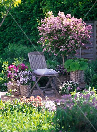 syringa meyeri palibin zwergflieder stamm unterpflanzt bild kaufen living4media. Black Bedroom Furniture Sets. Home Design Ideas