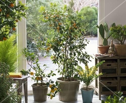 citrus zitrone calamondine acacia mimose opuntia. Black Bedroom Furniture Sets. Home Design Ideas