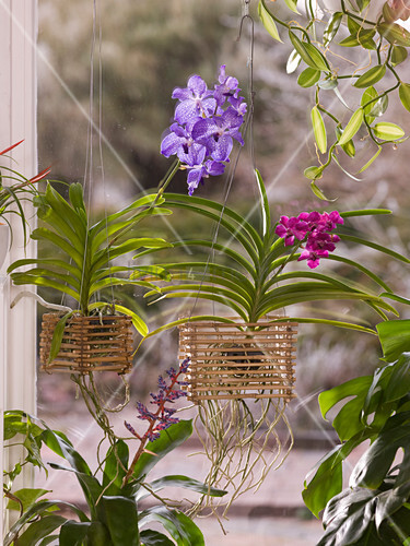 vanda orchideen in selbstgebautem bambus korb 5 5. Black Bedroom Furniture Sets. Home Design Ideas