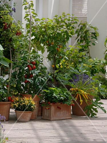 nasch terrasse mit lycopersicon tomaten prunus armeniaca aprikose bild kaufen. Black Bedroom Furniture Sets. Home Design Ideas