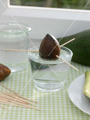 avocado vermehren auf der fensterbank bild kaufen. Black Bedroom Furniture Sets. Home Design Ideas