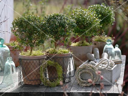 myrtus communis myrten kleine b umchen in t pfen moos kleine kr nze bild kaufen living4media. Black Bedroom Furniture Sets. Home Design Ideas