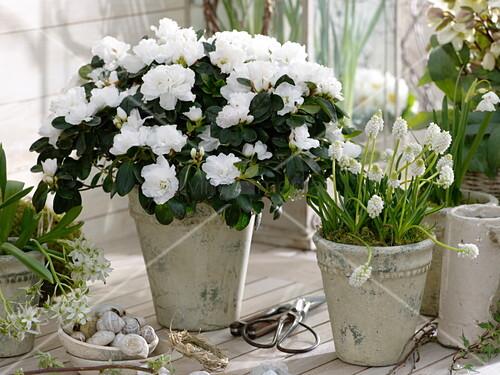 rhododendron simsii zimmerazalee muscari album. Black Bedroom Furniture Sets. Home Design Ideas