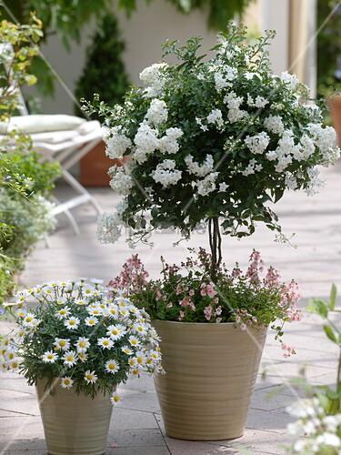 solanum jasminoides jasmin nachtschatten unterpflanzt. Black Bedroom Furniture Sets. Home Design Ideas