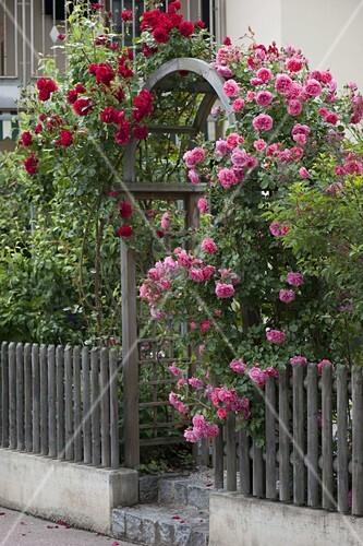 rosa rosarium uetersen duftend und rosa santana rot. Black Bedroom Furniture Sets. Home Design Ideas