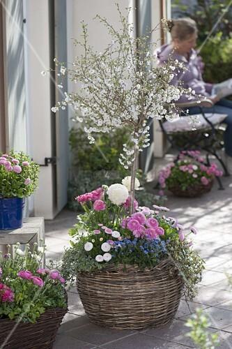 zierkirsche mit fr hlingsblumen in korb pflanzen 4 4 bild kaufen living4media. Black Bedroom Furniture Sets. Home Design Ideas
