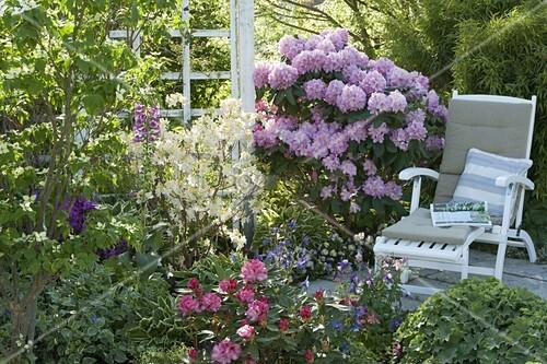 rhododendron catawbiense grandiflorum daviesii. Black Bedroom Furniture Sets. Home Design Ideas
