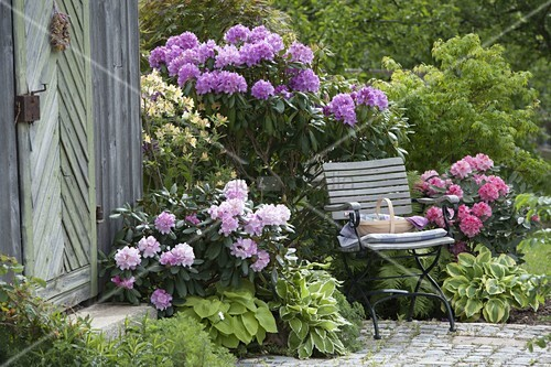 rhododendron catawbiense boursault yakushimanum. Black Bedroom Furniture Sets. Home Design Ideas