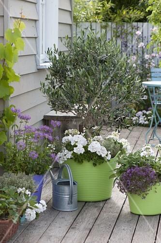 olea europaea olivenbaum mit pelargonium zonale stehende geranien bild kaufen living4media. Black Bedroom Furniture Sets. Home Design Ideas