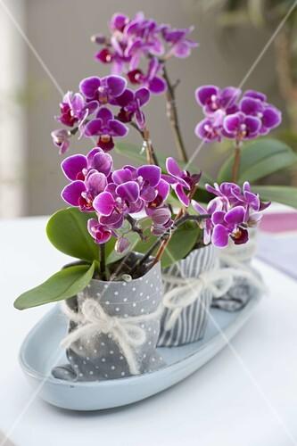 mini orchideen phalaenopsis little lady malayenblumen bild kaufen living4media. Black Bedroom Furniture Sets. Home Design Ideas