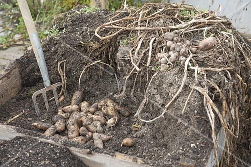 anbau und ernte von kartoffeln in kartoffelkiste bild. Black Bedroom Furniture Sets. Home Design Ideas