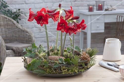 Hippeastrum royal red amaryllis in kranz aus bemoosten for Hippeastrum royal red entretien