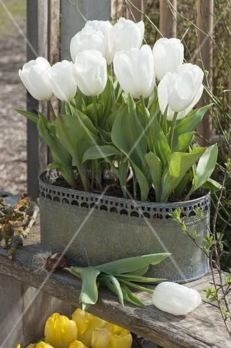 tulipa calgary weisse tulpen in metall jardiniere bild kaufen living4media. Black Bedroom Furniture Sets. Home Design Ideas