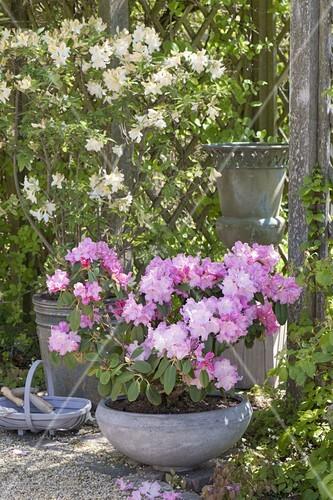 rhododendron yakushimanum silberwolke alpenrose bild. Black Bedroom Furniture Sets. Home Design Ideas