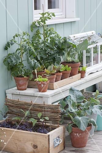 tomaten selber ziehen bild kaufen living4media. Black Bedroom Furniture Sets. Home Design Ideas