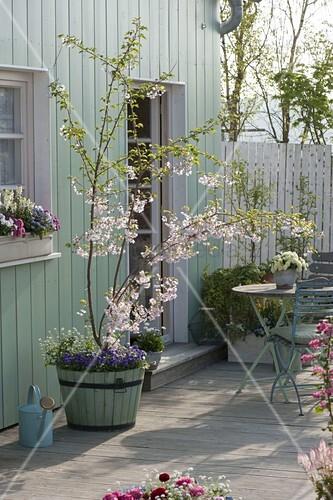 terrasse mit prunus accolade zierkirsche im holz k bel unterpflanzt bild kaufen. Black Bedroom Furniture Sets. Home Design Ideas