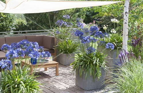mit sonnensegel schattierte terrasse k bel mit agapanthus schmucklilien bild kaufen. Black Bedroom Furniture Sets. Home Design Ideas