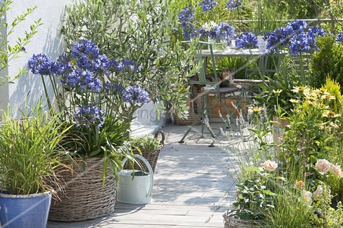 mediterrane terrasse mit agapanthus schmucklilien olea. Black Bedroom Furniture Sets. Home Design Ideas