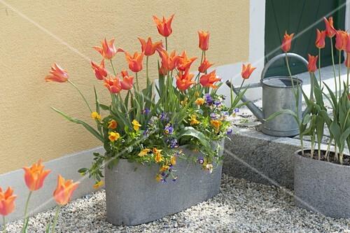 graue jardiniere mit tulipa ballerina lilienbluetigen tulpen und viola bild kaufen. Black Bedroom Furniture Sets. Home Design Ideas