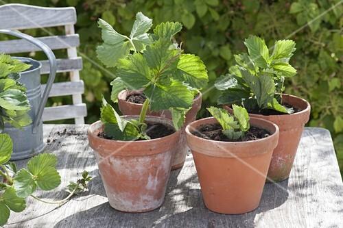 ableger von erdbeeren einpflanzen bild kaufen living4media. Black Bedroom Furniture Sets. Home Design Ideas