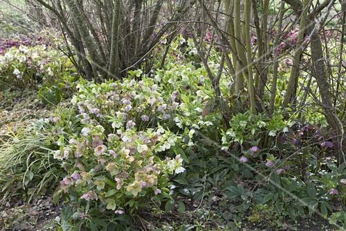 helleborus orientalis lenzrosen als unterpflanzung von str uchern bild kaufen living4media. Black Bedroom Furniture Sets. Home Design Ideas