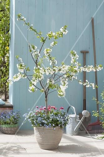 sauerkirsche morellenfeuer prunus cerasus unterpflanzt. Black Bedroom Furniture Sets. Home Design Ideas