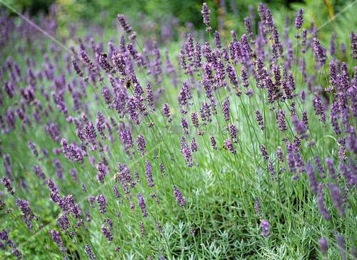 lavandula angustifolia nana atropurpurea dwarf lavender bild kaufen living4media. Black Bedroom Furniture Sets. Home Design Ideas