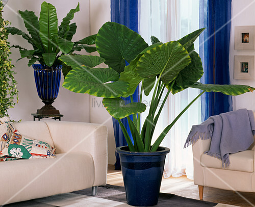 alocasia macrorrhizos giant bild kaufen living4media. Black Bedroom Furniture Sets. Home Design Ideas