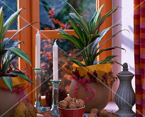 cordyline fruticosa kiwi keulenlilie juglans waln sse runde ton bert pfe bild kaufen. Black Bedroom Furniture Sets. Home Design Ideas