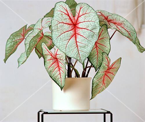 Caladium Knollen Kaufen : caladium bicolor white queen buntblatt bild kaufen ~ Lizthompson.info Haus und Dekorationen