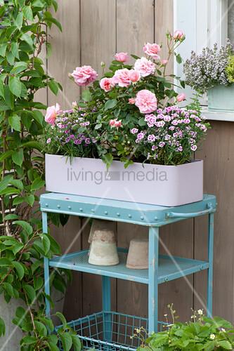 pastell lila kasten mit rosa rose dianthus pink. Black Bedroom Furniture Sets. Home Design Ideas