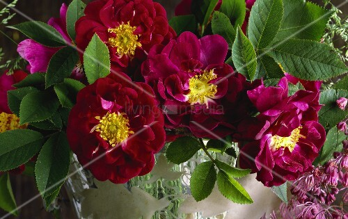 alte stark duftende rosensorte tuscany bild kaufen living4media. Black Bedroom Furniture Sets. Home Design Ideas