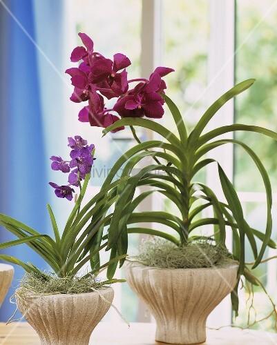 seltene orchideen namens vanda und ascocenda bild kaufen living4media. Black Bedroom Furniture Sets. Home Design Ideas
