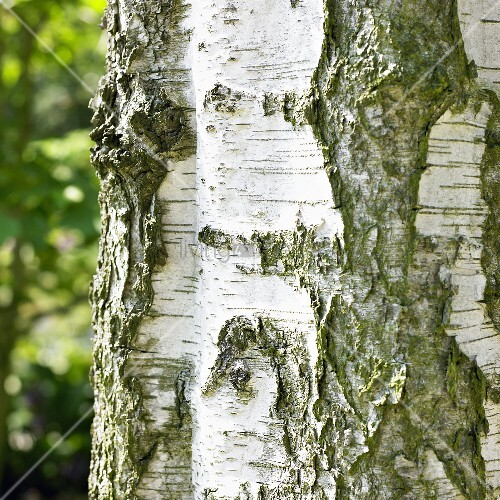 stem of upright silver birch betula pendula fastigiata bild kaufen living4media. Black Bedroom Furniture Sets. Home Design Ideas