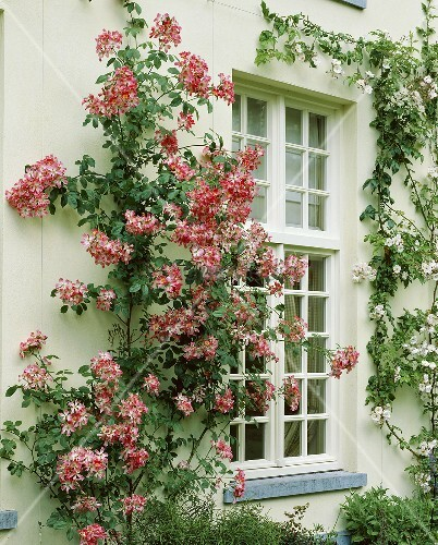 hausfassade mit kletterrose rosa meidiland bild kaufen. Black Bedroom Furniture Sets. Home Design Ideas