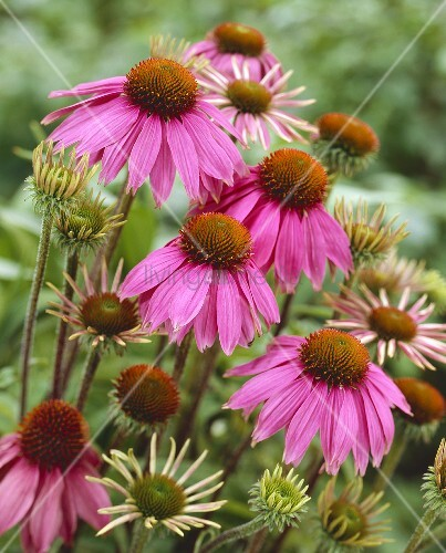 purple coneflower echinacea purpurea kim s knee high. Black Bedroom Furniture Sets. Home Design Ideas