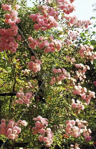 bl hender rosenbusch mit rosa bl ten bild kaufen living4media. Black Bedroom Furniture Sets. Home Design Ideas