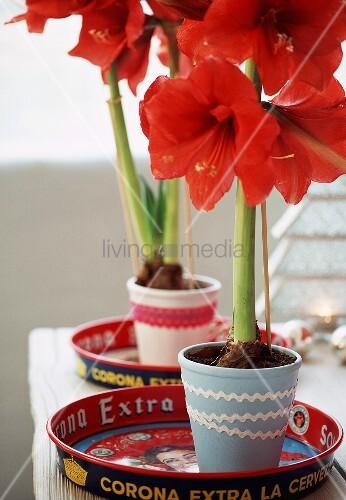amaryllis bild kaufen living4media. Black Bedroom Furniture Sets. Home Design Ideas