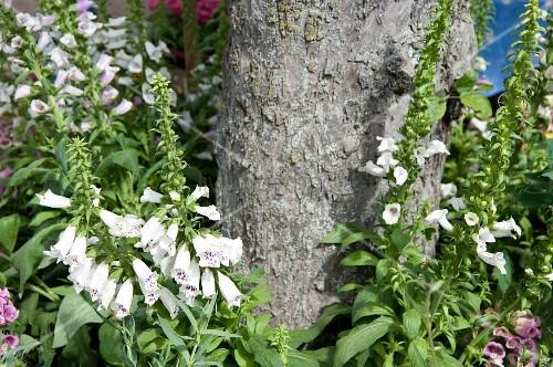 Fingerhut w chst um einen baum im garten bild kaufen for Gartengestaltung um einen baum